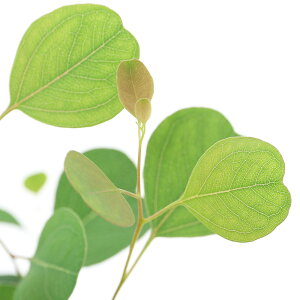 (観葉植物)ユーカリ ポポラス 3〜3.5号(1ポット) 家庭菜園