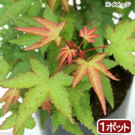 (山野草)盆栽 品種系モミジ 清姫(キヨヒメ) 3号(1ポット)
