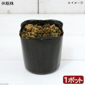 (山野草)ノヒメユリ(野姫百合) 2.5号(1ポット) (休眠株)