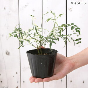 (観葉植物)斑入りハゴロモジャスミンミルキーウェイ3号(1ポット)【HLS_DU】