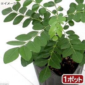 (観葉植物)ハーブ苗 カレーリーフの苗 3号(1ポット) 家庭菜園 料理