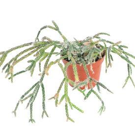 (観葉植物)リプサリス ピロカルパ 3〜3.5号(1鉢)