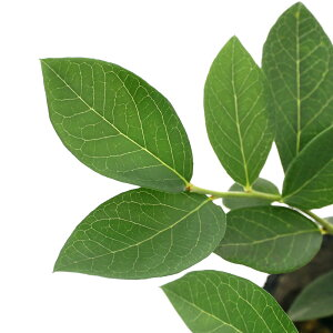 (観葉植物)果樹苗 ブルーベリー ケープフェアー サザンハイブッシュ系 5号(1ポット) 家庭菜園 関東当日便