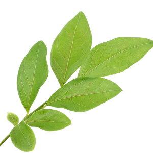 (観葉植物)果樹苗 ブルーベリー サザンオニール サザンハイブッシュ系 5号(1ポット) 家庭菜園 関東当日便