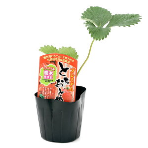 (観葉植物)野菜苗 イチゴ プレミアムとちおとめ 3号(1ポット) 家庭菜園 いちご苗