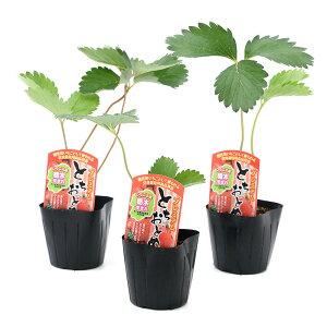 (観葉植物)野菜苗 イチゴ プレミアムとちおとめ 3号(3ポット) 家庭菜園 いちご苗