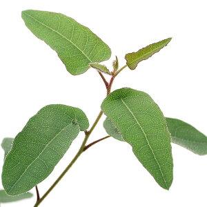 (観葉植物)ユーカリ レモンブッシュ 3.5号(1ポット) 家庭菜園