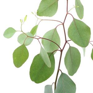 (観葉植物)ユーカリ ポポラス(ポリアンセモス) 4号(1ポット) 家庭菜園