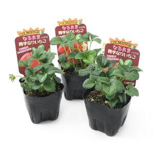 (観葉植物)野菜苗 イチゴ なるあま四季成りイチゴ ペチカ 3.5号(3ポット) 家庭菜園 いちご苗