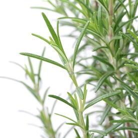 (観葉植物)ハーブ苗 ローズマリー(品種おまかせ) 7号(1ポット) 家庭菜園