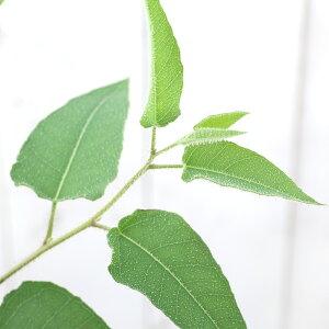(観葉植物)ユーカリ レモンユーカリ 7号(1鉢) 家庭菜園