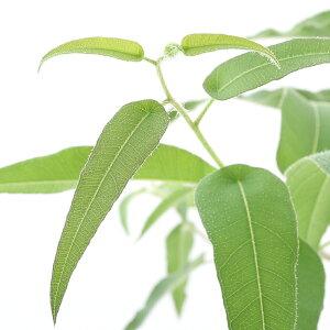 (観葉植物)ユーカリ レモンユーカリ 5号(1鉢) 家庭菜園