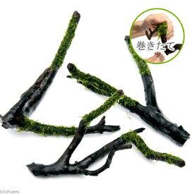 (水草)巻きたて ウィローモス 枝状流木 Sサイズ(約10cm〜)(無農薬)(1本)