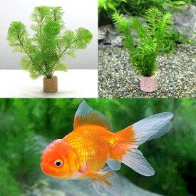 (金魚)(水草)ライフマルチ(茶) メダカ・金魚藻セット+よりなしオランダ 素赤〜更紗(3匹) 北海道航空便要保温