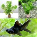 (金魚 水草)ライフマルチ(茶) メダカ・金魚藻セット+黒出目金(3匹)