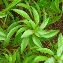 (水草)ルドウィジア インクリナータ トルネード(水上葉)(無農薬)(1本)
