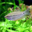 (熱帯魚)パール・グラミー(2匹)