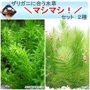 (水草 ザリガニ)ザリガニに合う水草マシマシセット 2種(無農薬)(1セット)