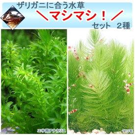 (水草)ザリガニに合う水草マシマシセット 2種(無農薬)(1セット) ザリガニ 北海道航空便要保温