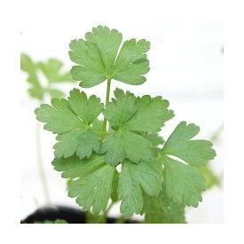 (観葉植物)ハーブ苗 パセリ イタリアンパセリ 3号(3ポット) 家庭菜園