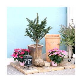 (観葉植物)訳あり品 本物のもみの木 10号 黒ポット植え(1本)(高さ1〜1.4m前後)説明書付き 同梱不可
