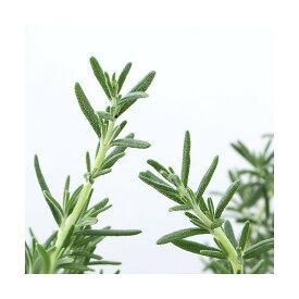 (観葉植物)ハーブ苗 ローズマリー シメリングスターズ 半匍匐性 3号(1ポット) 家庭菜園