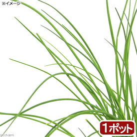 (観葉植物)ハーブ苗 チャイブ 3号(1ポット) 家庭菜園