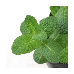 (観葉植物)ハーブ苗 ミント アップルミント 3号(3ポット) 家庭菜園 北海道冬季発送不可