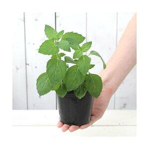 (観葉植物)ハーブ苗 ミント ニホンハッカ ほくと 3号(1ポット) 家庭菜園