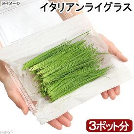 (観葉植物)採れたて イタリアンライグラス 国産(無農薬)(3ポット分) うさぎ 猫 犬のおやつ 北海道冬季発送不可
