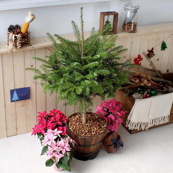 (観葉植物)本物のもみの木 ウラジロモミノキとウッドバレルプランターの2個口送料無料 沖縄別途送料 お一人様5点限り