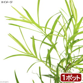 (観葉植物)ハーブ苗 ティーツリー メディカルティーツリー 3号(1ポット)家庭菜園 北海道冬季発送不可【HLS_DU】