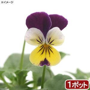 (観葉植物)ハーブ苗 ワイルドパンジー ハーツイーズ(三色スミレ) 3号(1ポット)