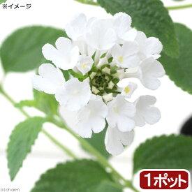 (観葉植物)ハーブ苗 コバノランタナ ホワイト 3号(1ポット)