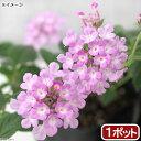 (観葉植物)ハーブ苗 コバノランタナ ライラック 3号(1ポット) 家庭菜園