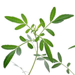 (観葉植物)ハーブ苗 マリーゴールド レモン 3号(1ポット) 家庭菜園