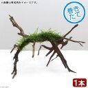 (水草)巻きたて ウィローモス ブランチアーチ流木(1本)