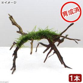 (水草)育成済 ウィローモス ブランチアーチ流木(1本)