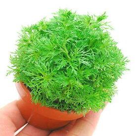 (水草)素焼き鉢 メダカ・金魚藻 アンブリア(水上葉)(無農薬)(1鉢)