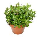 (水草)素焼き鉢 ニューオランダプラント(水上葉)(無農薬)(1鉢)