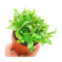 (水草)素焼き鉢 ハイグロフィラ ポリスペルマ(水上葉)(無農薬)(1鉢)