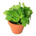 (水草)素焼き鉢 ルドウィジア レペンス グリーン(無農薬)(1鉢)