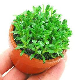 (水草)素焼き鉢 ロタラ ナンセアン(水上葉)(無農薬)(1鉢)