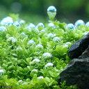 (水草)キューバパールグラス(水上葉) 鉢植え(無農薬)(1鉢)