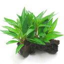 (水草)ハイグロフィラ グラブラ(インボイス)流木付 Sサイズ(水上葉)(無農薬)(1本)(約15cm) 北海道航空…