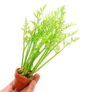 (水草)アメリカン ウォータースプライト ミニ素焼き鉢(水上葉)(無農薬)(1鉢)