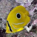 (海水魚)沖縄産 ウミヅキチョウチョウウオ SSサイズ(1匹) 北海道・九州・沖縄航空便要保温