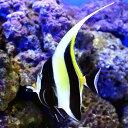 (海水魚)外国産 ツノダシ(1匹) チョウチョウウオ 北海道・九州・沖縄航空便要保温