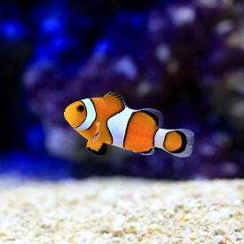 (海水魚)沖縄産 カクレクマノミ Sサイズ(ワイルド)(1匹)