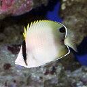 (海水魚)アフリカンバタフライフィッシュ(1匹) チョウチョウウオ 北海道・九州・沖縄航空便要保温